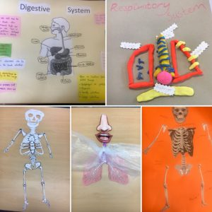 Diagrams, models and posters for The Human Body unit
